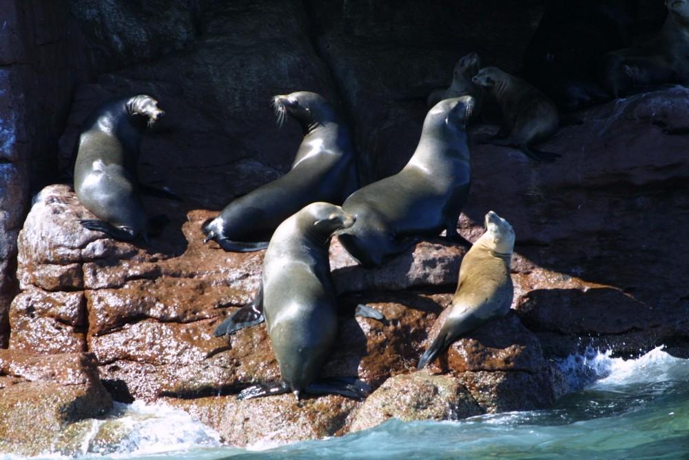 Isla Espiritu Santo, sea lions